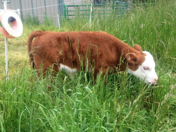 Calf grazing on new grass after passing under fence.jpg
