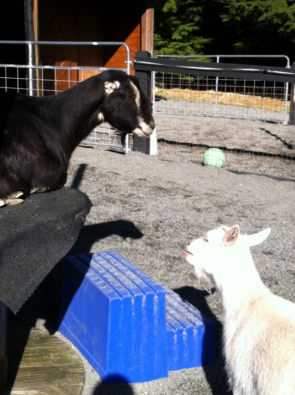 Goats in Easy Clean Paddock.jpg
