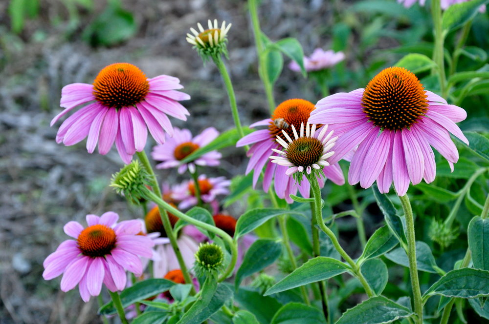 Echinacea, or purple cone flower, is a wonderful showy flower that native pollinating insects love.