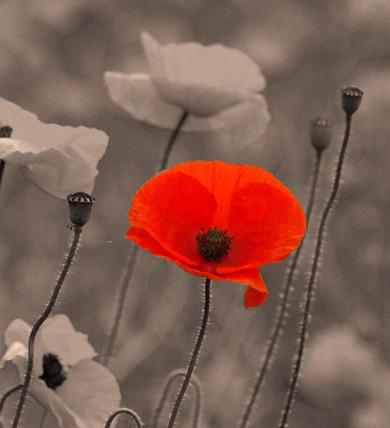 poppy-sepia.jpg