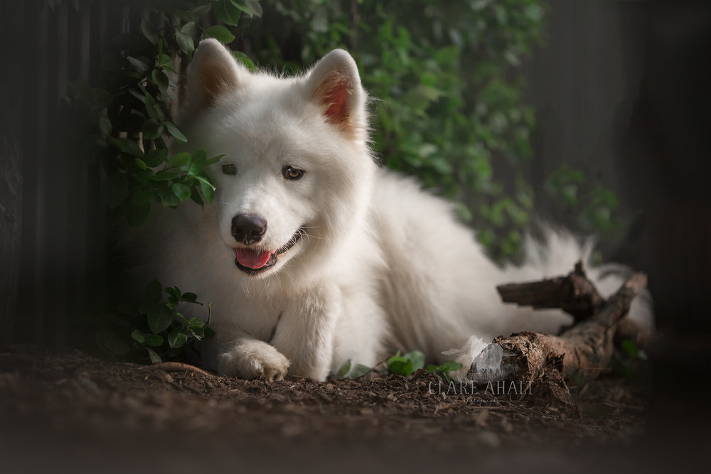 Photographic portrait of a samoyed dog taken by maryland photographer Clare Ahalt Photography, a fine art portrait photographer located in mid-Maryland specializing in child portrait photography, high school senior portraits and pet portraiture.