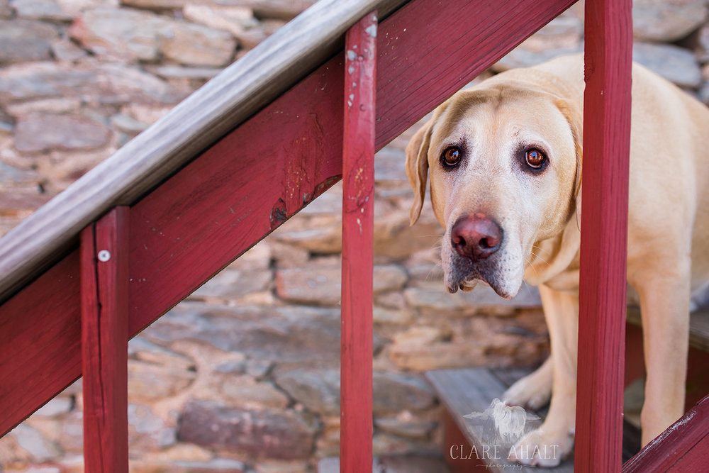 Pet Portrait of a yellow lab in Maryland near Jefferson Veterinary Hospital, photographed by Clare Ahalt Photography, a fine art portrait photographer located in mid-maryland.