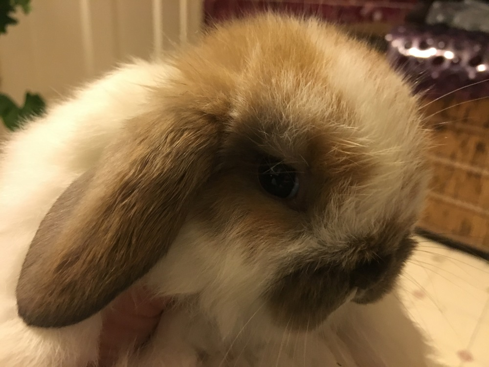 Beautiful Little Miss Spot is a one month old Holland Lop bunny. Isn't she the cutest?!!!!!