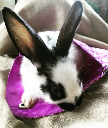 This sweet baby bunny, a month-old Mini Satin, thought the May ipsy Glam Bag made a nice bunny bed.  It's hard to tell at this angle, but this bunny has a black spot shaped like a bunny on the right side of its face.