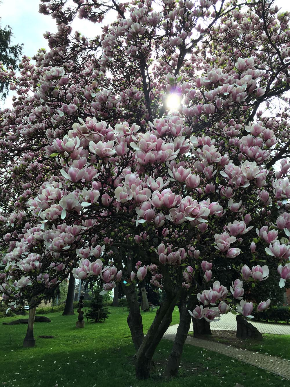 Před vilou Tomáše Bati jsou ty nejkrásnější stromy, zastavte se! // The most beautiful trees in front of the Bata Villa.