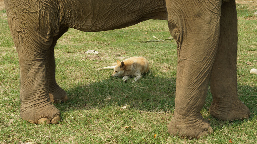 The rescue dogs like to sit in the elephants' shade