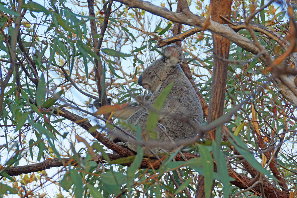First koala spotting in the wild... if you look closely you'll see a little baby koala ear poking out underneath its mama's nose