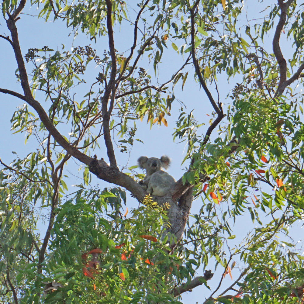 Final koala sighting on the island, in the trees behind our hotel