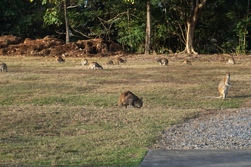 You can see wallabies at the Marlin Coast Bowls Club - sunset is a good time!