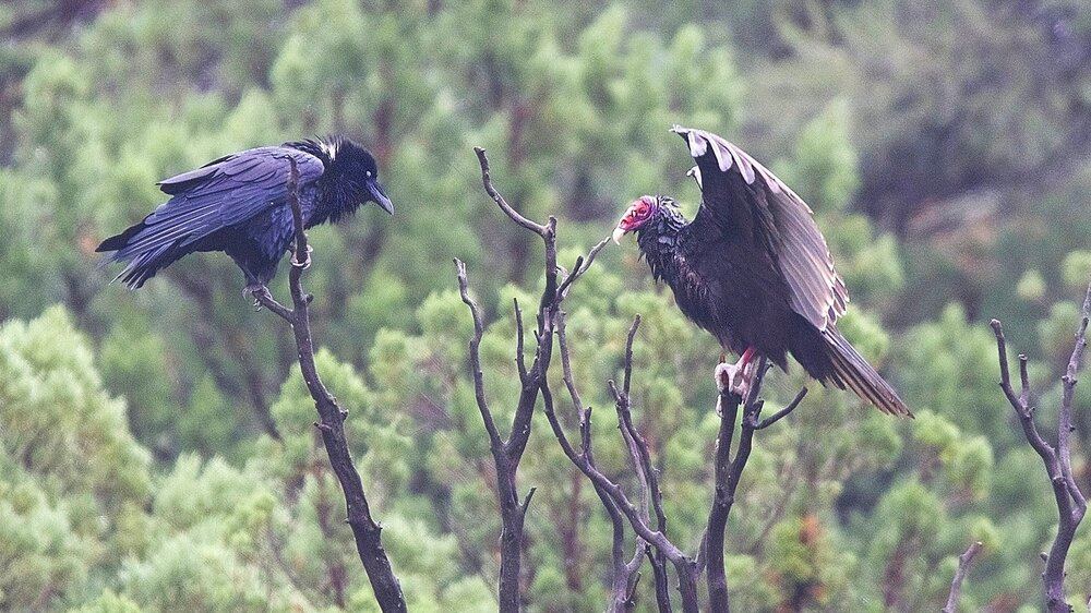 vulture and raven