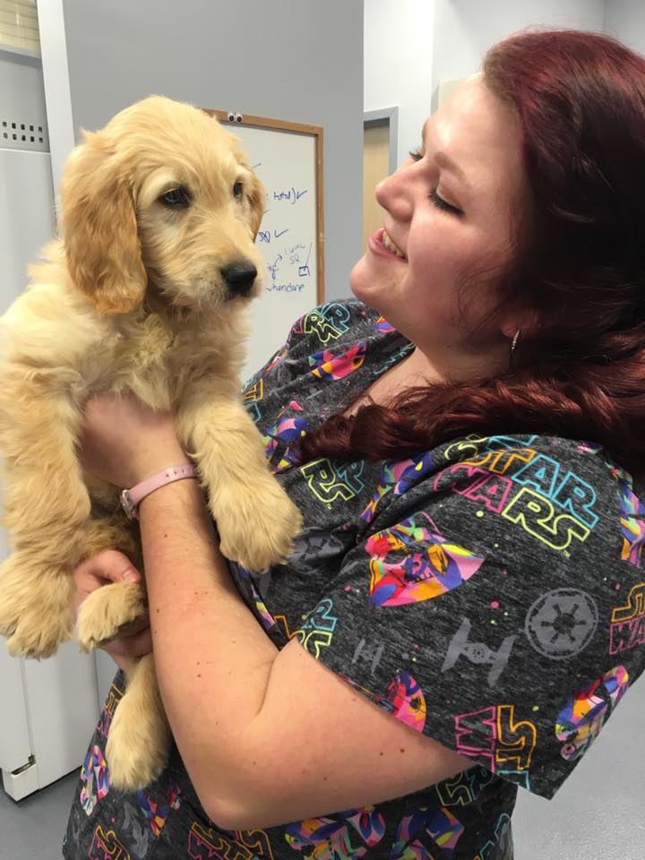 Labra doodle 9 week old puppy at jefferson veterinary hospital frederick md