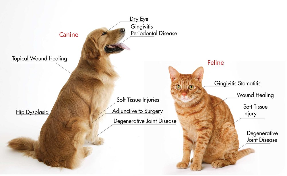 photo of cat and dog at veterinarian in frederick md having PRP and stem cell therapy treatment in Maryland