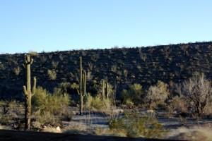 Quartzsite Cactus!