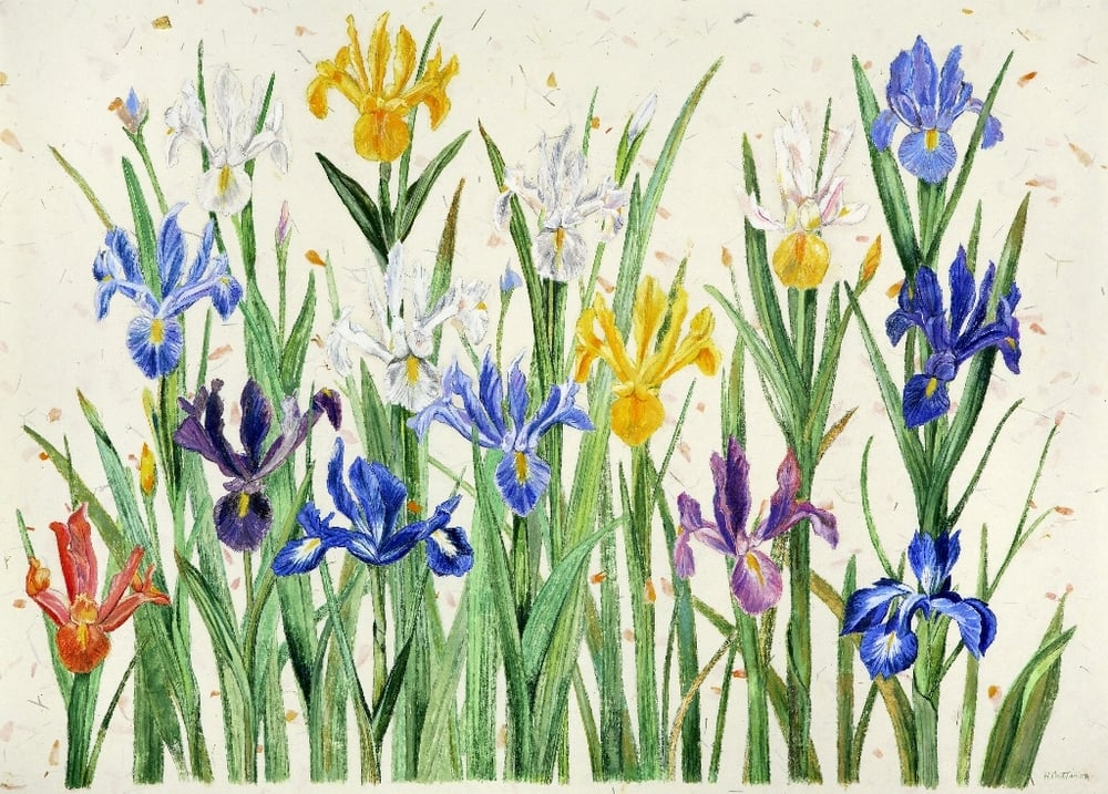 Field of Iris, colored pencils and pastel on hand-made paper, 21.5 x 30 inches