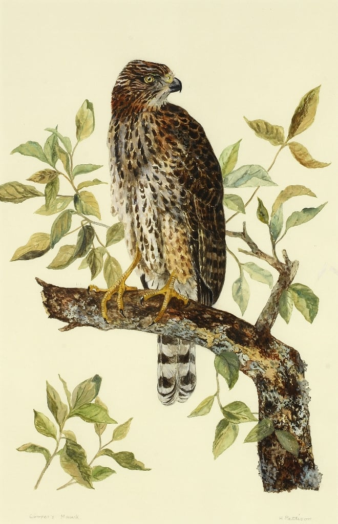 Cooper's Hawk, watercolor and gouache on Arches, 17 x 11 inches