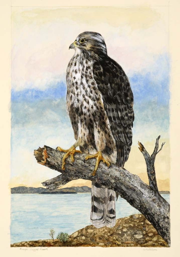 Rough-legged Hawk, watercolor and gouache on Arches, 20 x 14 inches