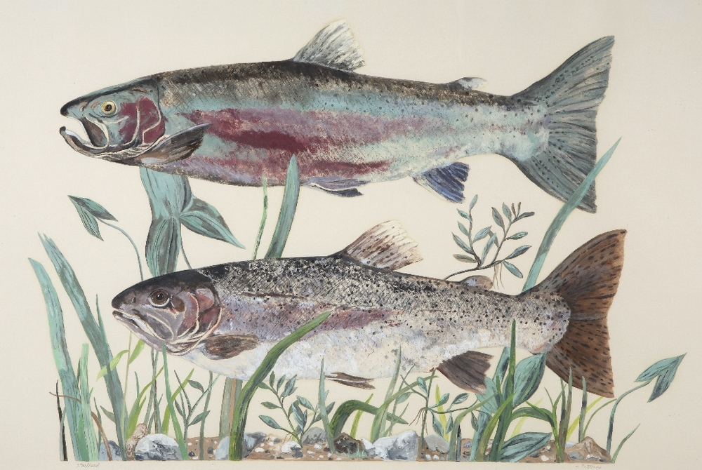 Steelhead Trout, oil on Stonehenge paper, 22 x 30 inches