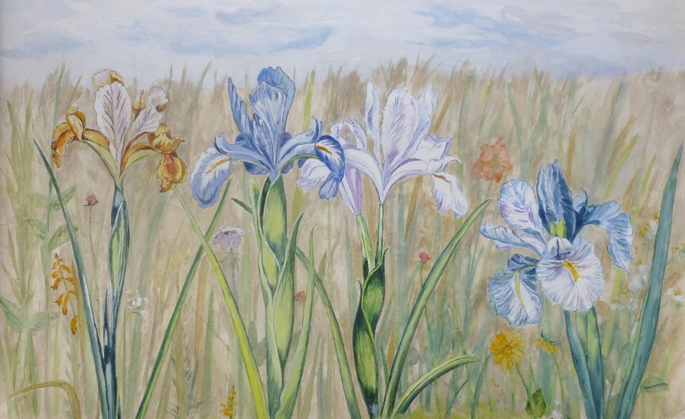 Field of Heirloom Iris, watercolor on Rives paper, 10.5 x 17 inches