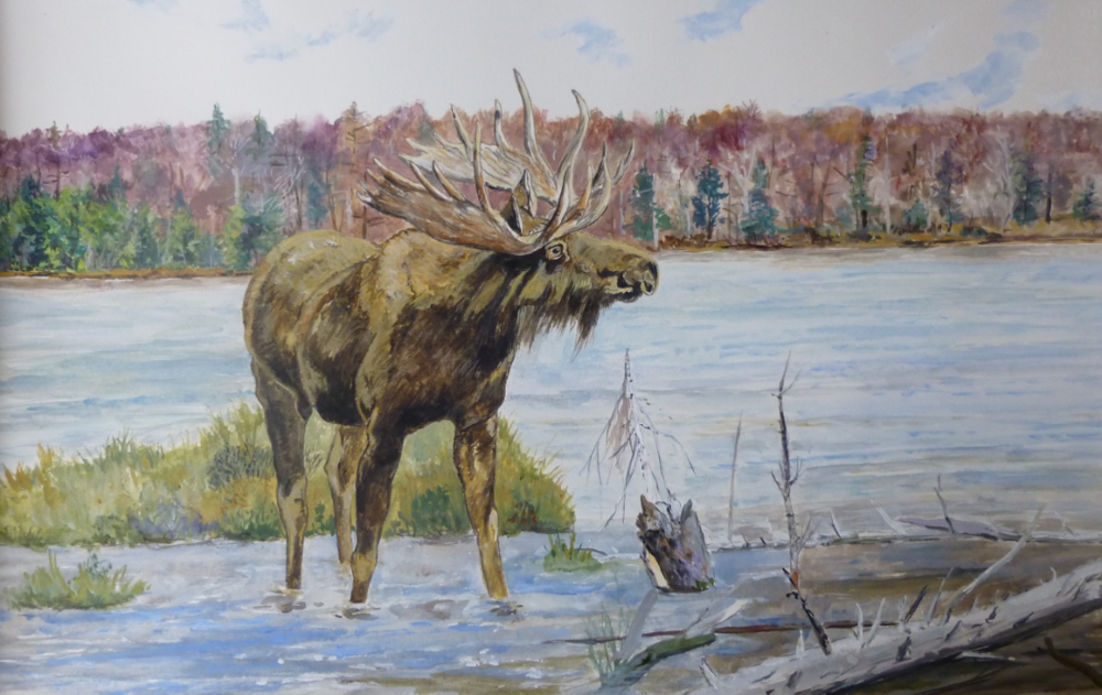 Moose in a Maine Pond, watercolor on Rives paper, 10.5 x 17 inches