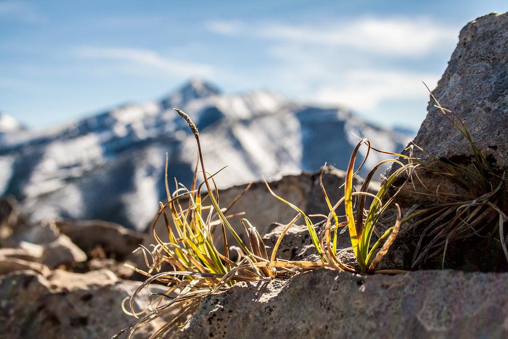 Alpine Grass