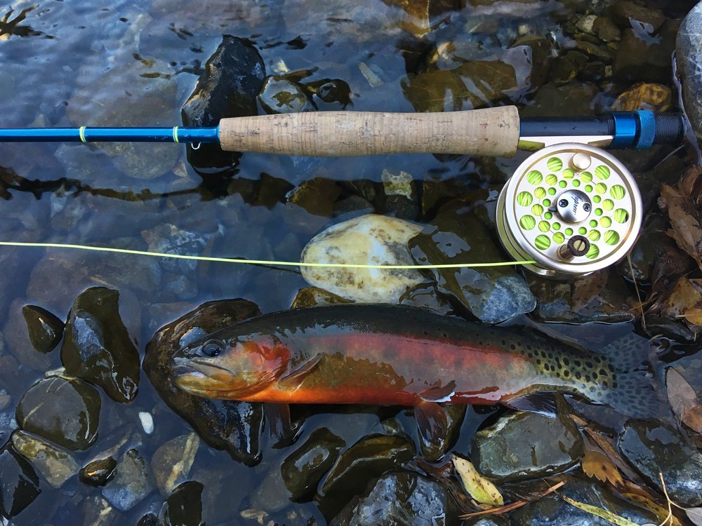I was able to track down a piece of water with mystical Golden trout, originally hailing from the Eastern Sierras in California. I was absolutely blown away by the sheer beauty and intelligence of this elusive fish. Like most Golden trout anglers will tell you: finding them is hard enough, but getting them to take is even harder.