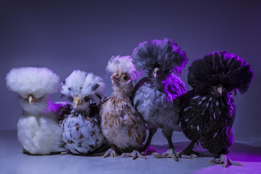 Chic Chicks ©Dan Bannino - Little ones3-Fluffy,Yolko,Willow,Flocky,Ziggy.jpg
