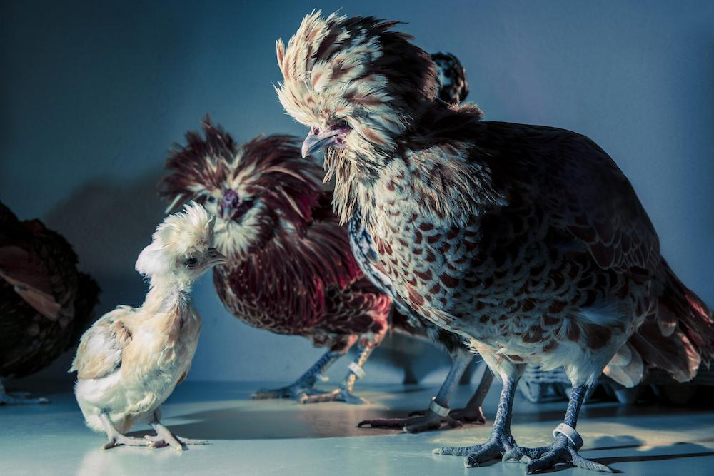 Chic Chicks ©Dan Bannino - Role model -.jpg
