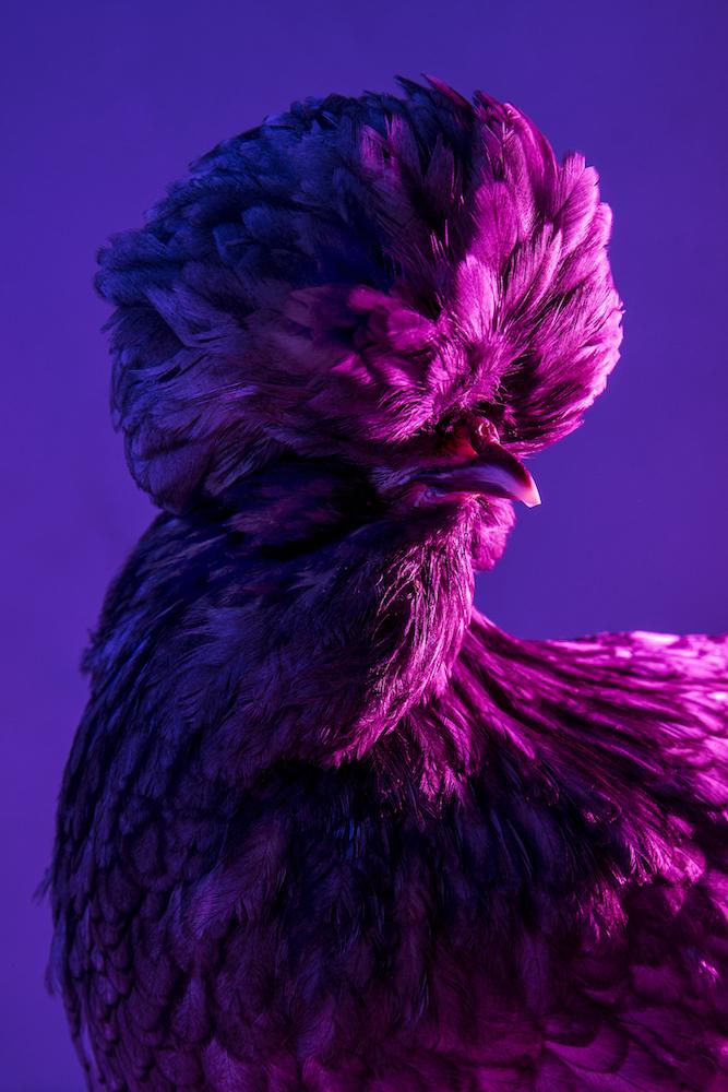 Chic Chicks ©Dan Bannino -Crystal:Blue laced-.jpg