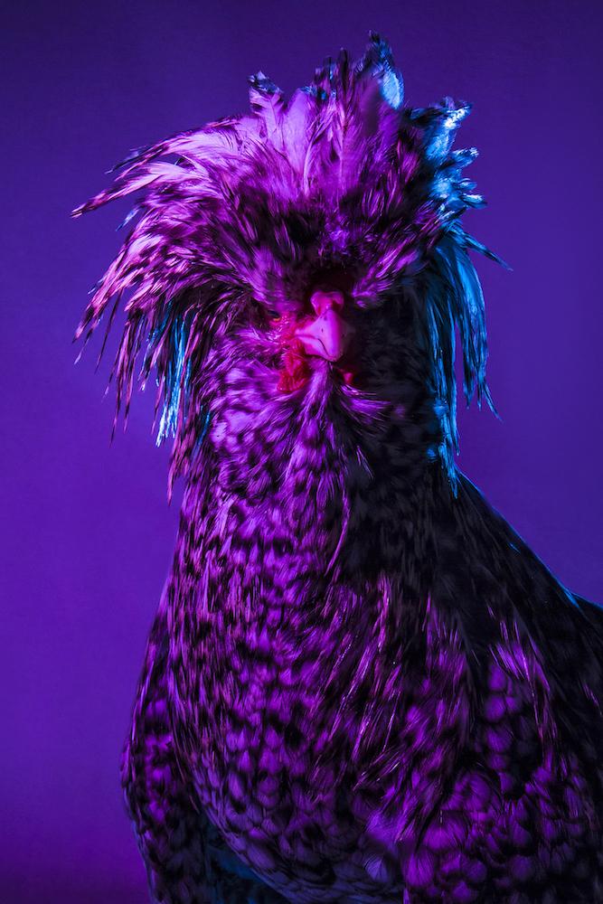 Chic Chicks ©Dan Bannino -Cosimo:Cuckoo coat-.jpg