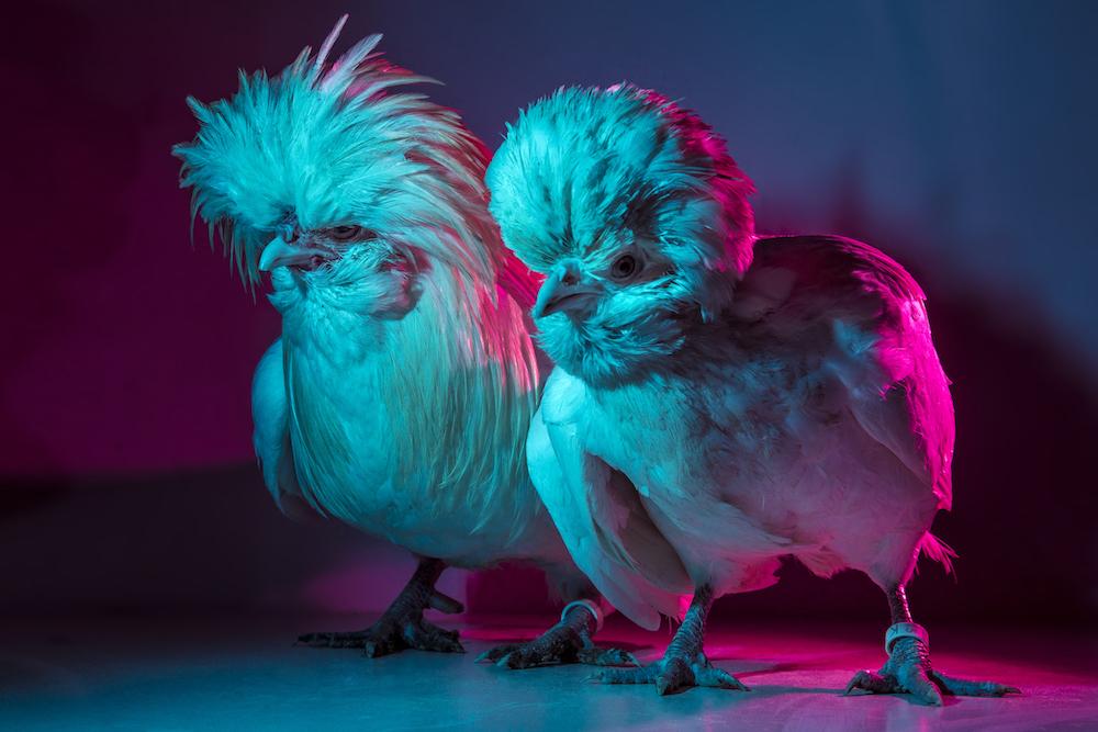 Chic Chicks ©Dan Bannino -Elvis&Priscilla.jpg