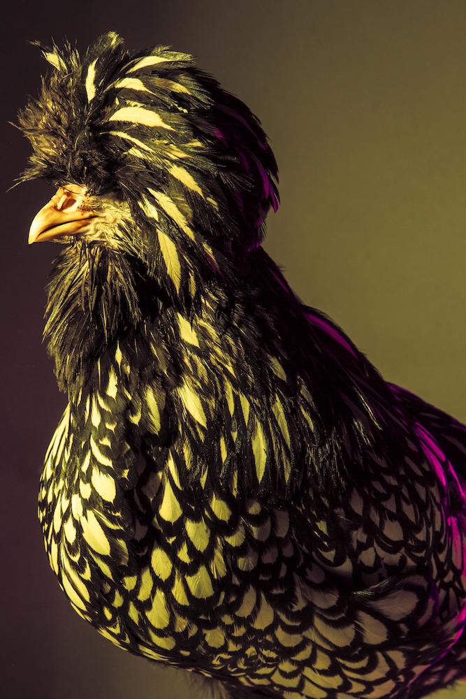 Chic Chicks ©Dan Bannino -Elza:Silver laced-.jpg