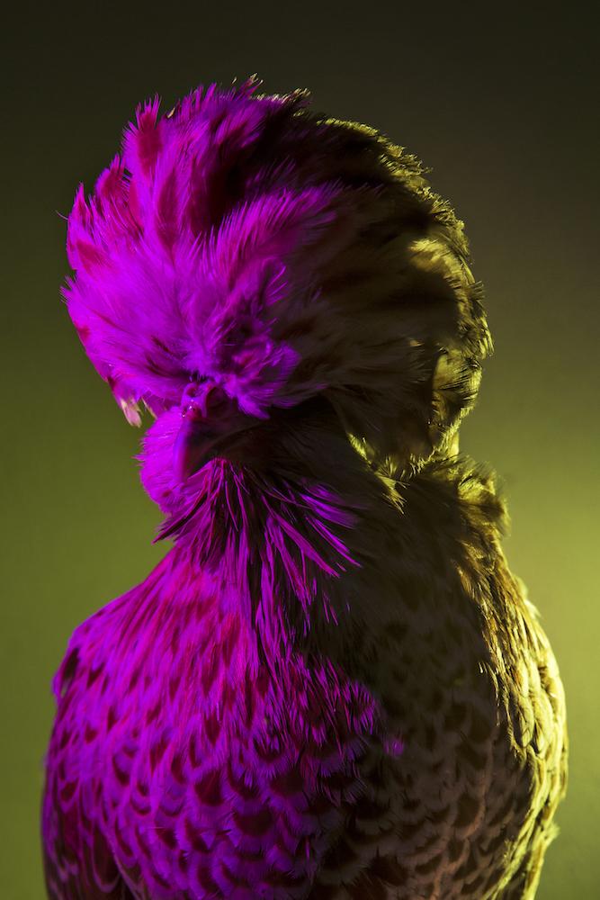 Chic Chicks ©Dan Bannino-Latifah:Chamois laced-.jpg