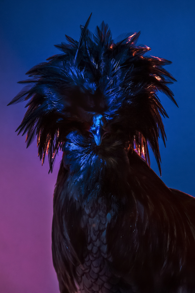 Chic Chicks ©Dan Bannino-Tyson:Black cloak-.jpg
