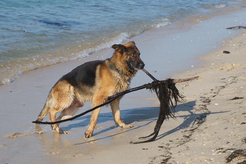 Pastor alemán jugando en la playa da Mexilloeira