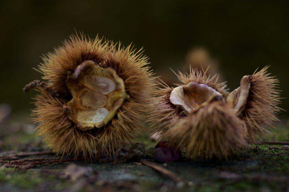 Postales de otoño. Erizos castañas