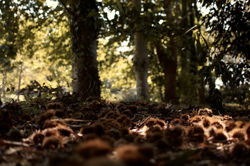 Postales de otoño. castañas