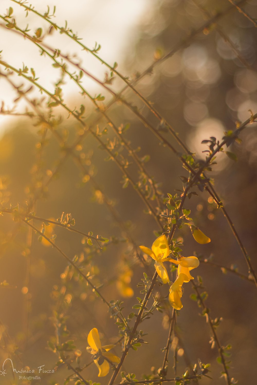 Flores xesta primavera