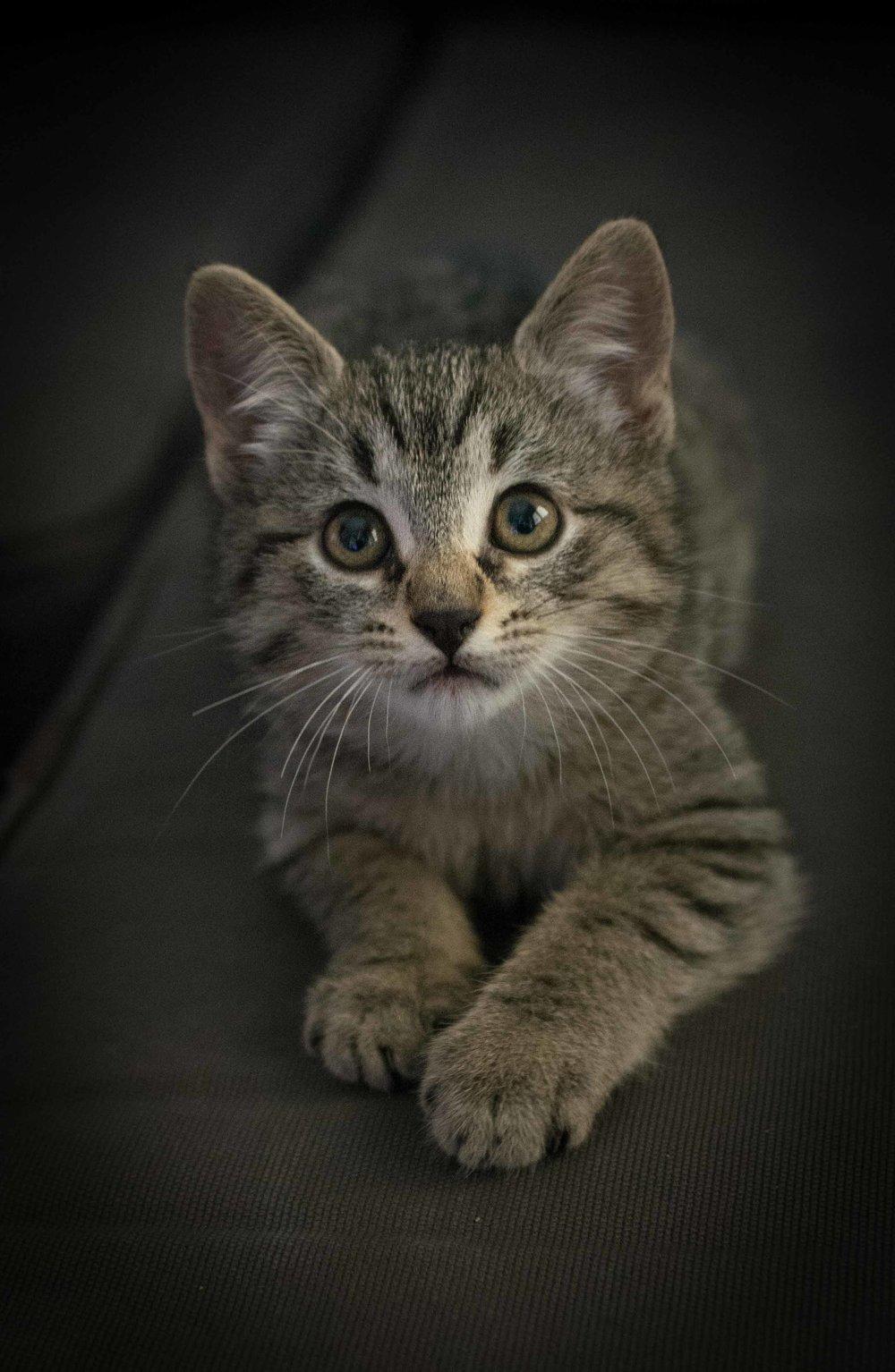 Gatito Kitten