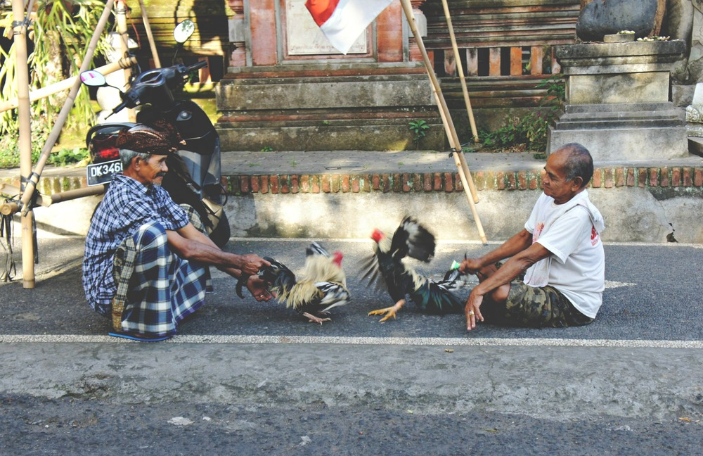 Rooster Fight Ubud
