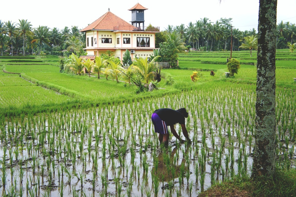 Rice Paddy Man Working