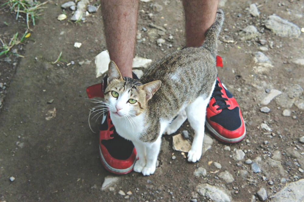 Rice Paddy Walk Cat