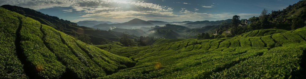 Photos by Paul Morgan, taken at a tea plantation near Bandung, Indonesia and in the Cameron Highlands, Malaysia.
