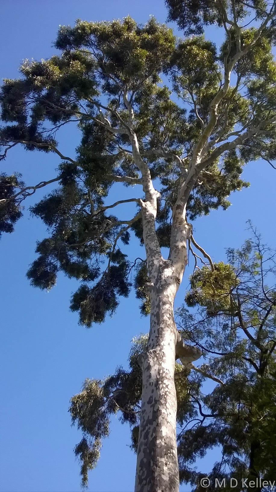 Gum Tree, Melbourne Botanic Gardens, Windows Phone.jpg