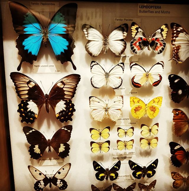 Always fascinating but slightly discomfiting #butterflycollection at the #melbournemuseum  Must be the thought of getting pinned to a display board that gets me!  #butterflies are truly remarkable creatures though.  #insects #bugs #insectcollection #bugcollection