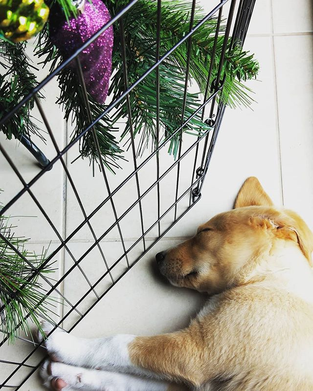 I knew this #puppy enclosure would come in handy, I just didn't think it'd be used for the #christmastree ... #puppychristmas #puppychew #borador #boradorsofinstagram #puppylove