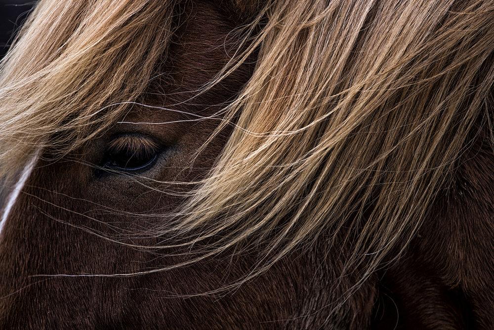 Pony. Iceland.