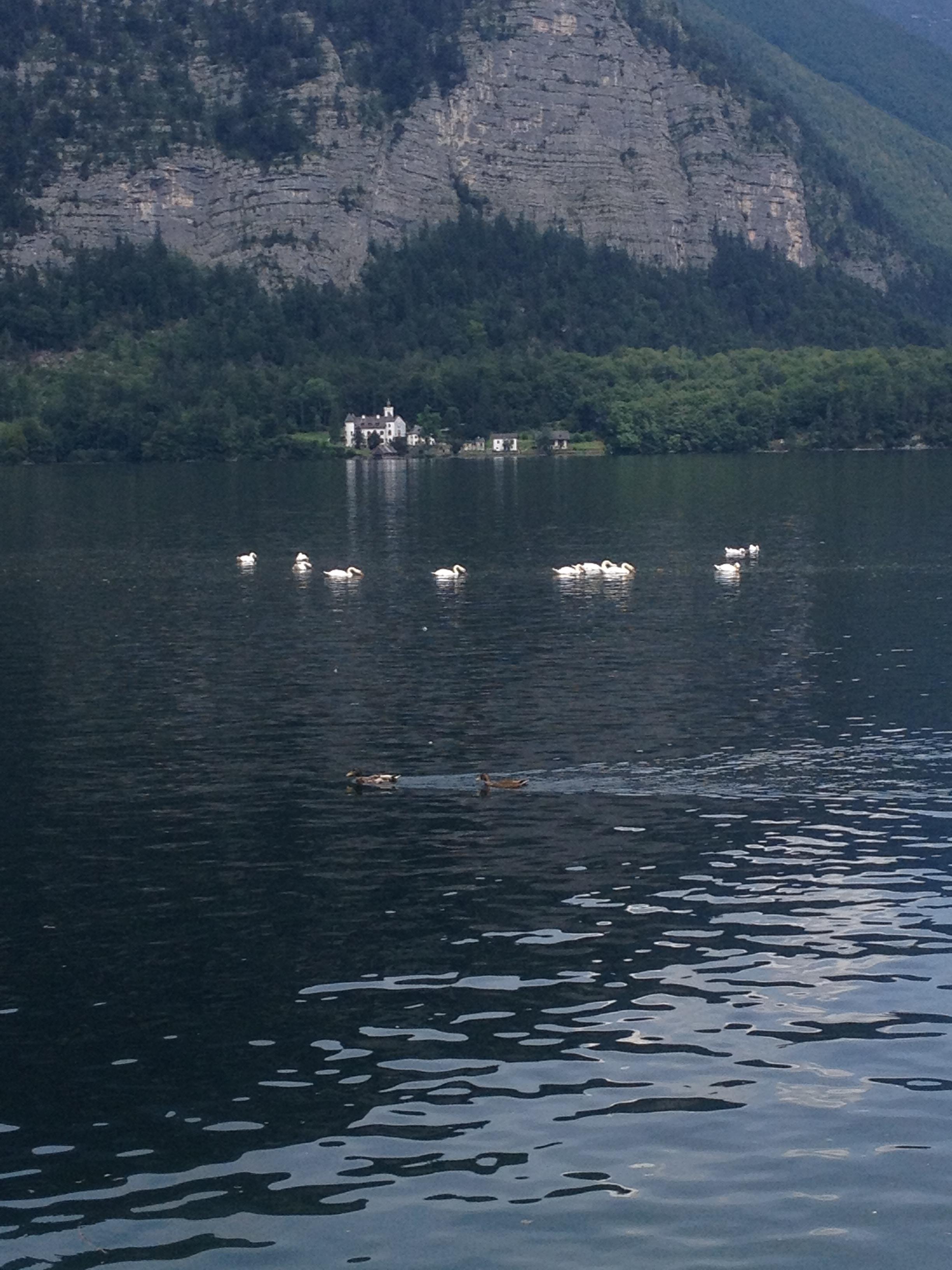Swans everywhere.