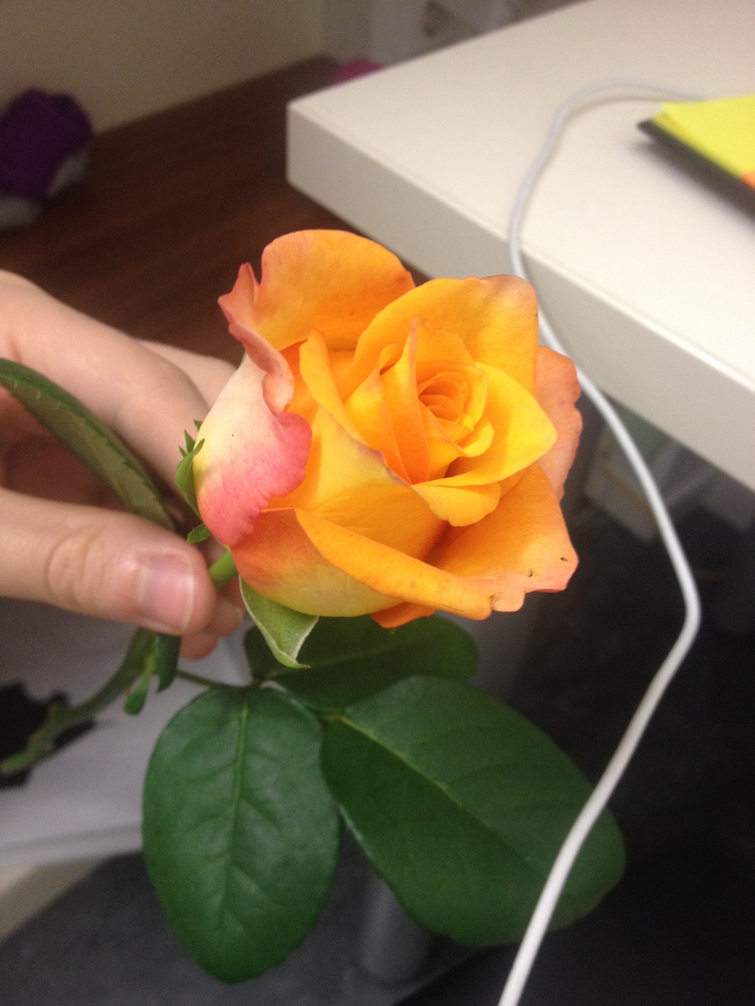 The rose that my sweet friend Lory left on my door for my birthday!