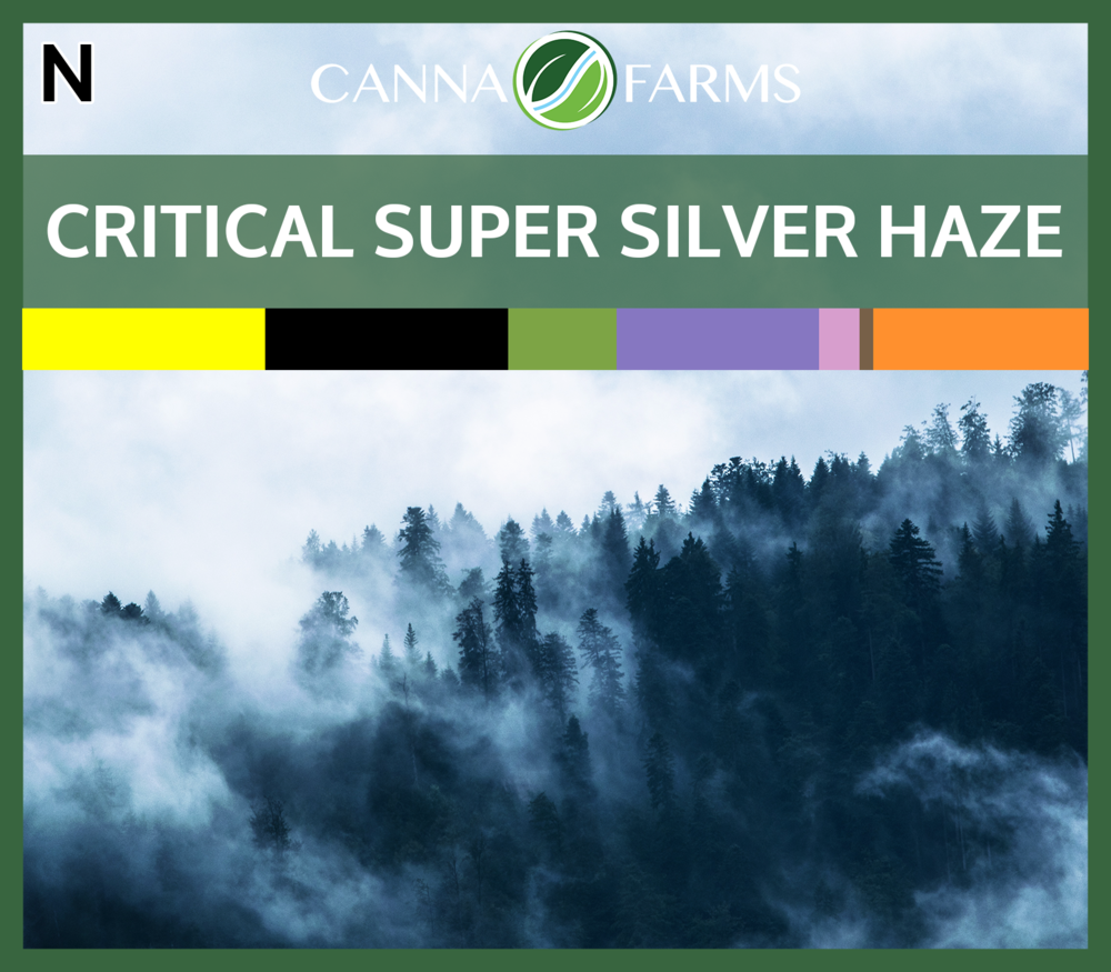 (16.8% THC | <0.05% CBD) $8.00 / gram   Critical Super Silver Haze is known for it's slightly citrusy aromas with incense and mentholated wood notes with hints of haze and even varnish.