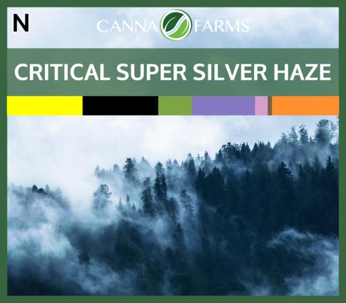 Critical_Super_Silver_Haze_Blank 03.16.2018.png